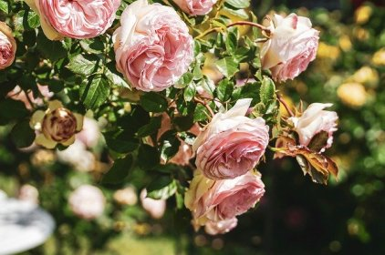 roses-4329259_640